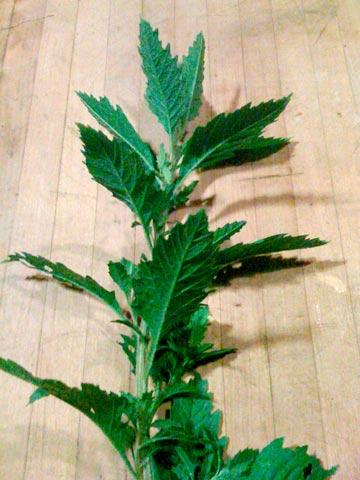 hojas de epazote