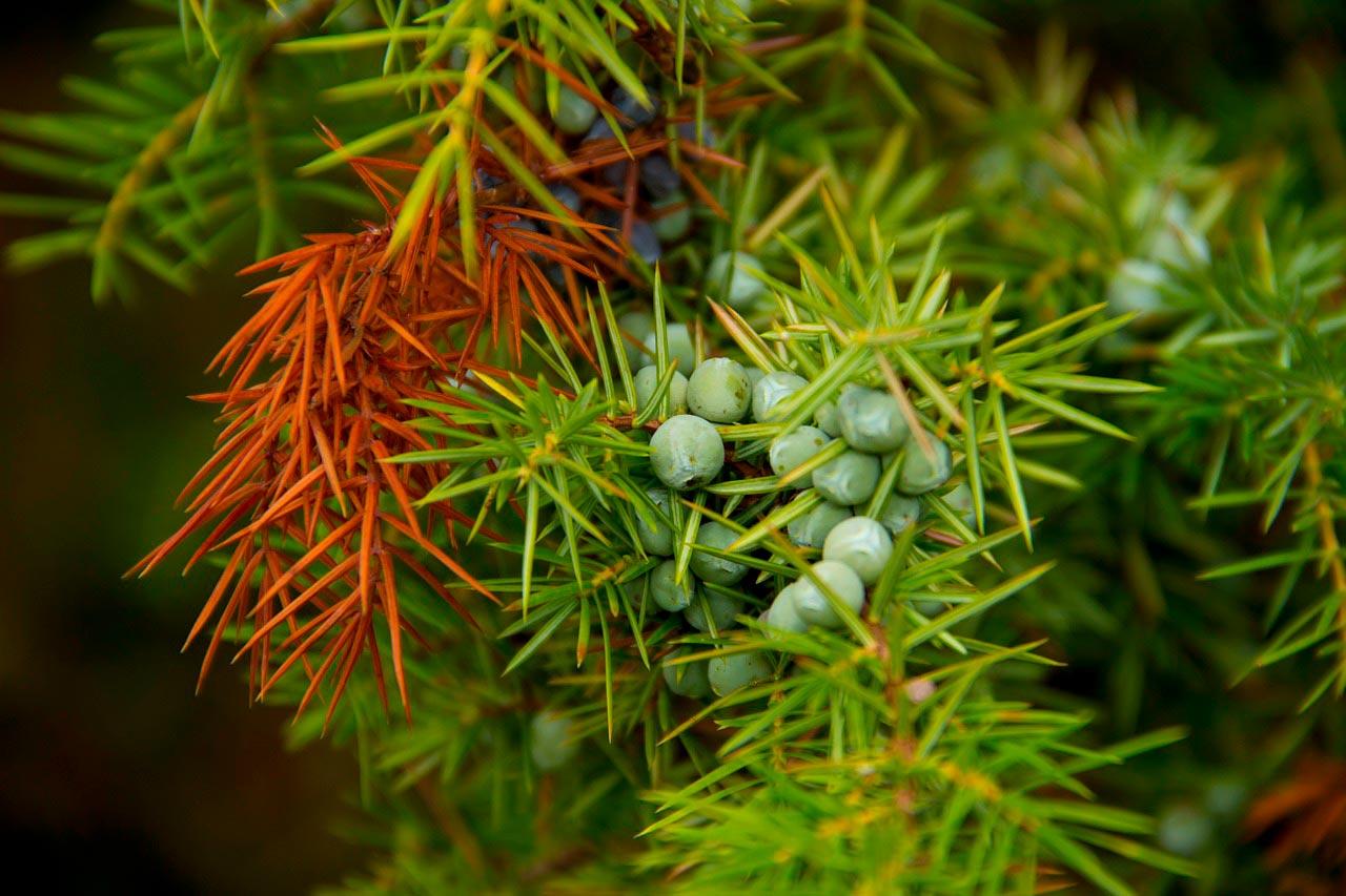 hojas de enebro